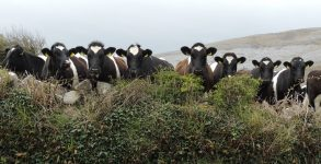 vaches burren irlande