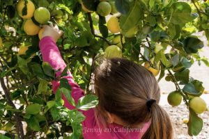 Little girl picking lemons in a tree
