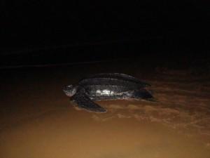Tortue luth - plage de Cayenne