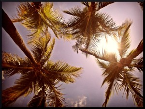 Palmiers floridiens dans les Keys.