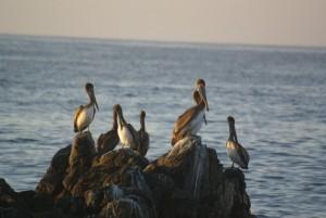 Pelicans au lever du jour