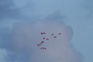 cayenne-ibisrouges